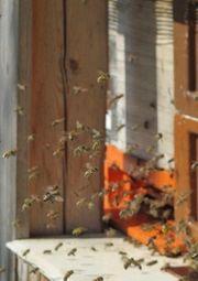 Verkaufe Bienen Bienenvölker Zander