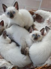 Reinrassige Siam Kitten 11 Wochen