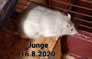 Ratten Männchen von 2020
