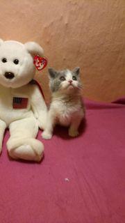 BKH Kitten - blue und blue