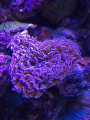 Koralle Euphyllia ancora