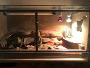 2 Leopardengecko-Damen mit Terrarium