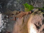Marmor Gecko Paar Gekko grossmanni
