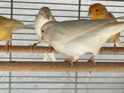 Kanarienvogel zu Verkaufen oder mit