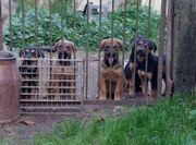 Kaukasen Rottweiler Mix Welpen