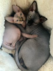 2 Canadian Sphynx Kater