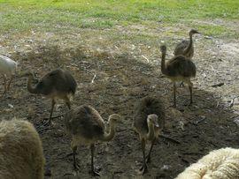 Nandu Küken: Kleinanzeigen aus Schmallenberg - Rubrik Vögel