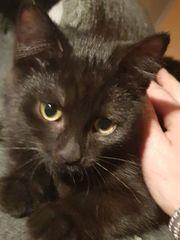 wunderschöne Perser BKH Kitten