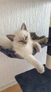 BKH Fold Mix Kitten Kurzhaar