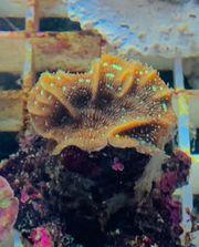 pavona cactus Meerwasser