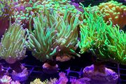 Meerwasser Koralle Euphyllia glabrescens super