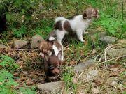 3 kleine chihuahua suchen