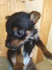 Chihuahua Welpe Hündin