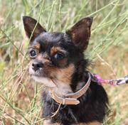 MANUELA - kleine lustige Chihuahua-Mix-Hündin sucht