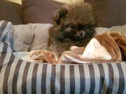 Pomeranian Zwergspitz Welpen aus eigener