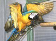 Blau-und Goldkeilschwanzsittich der für immer