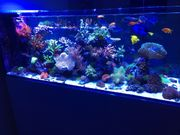 Korallen Ableger in 61479 Glashütten