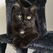 Mainecoon Kater