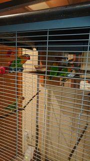 Fischeri papegei