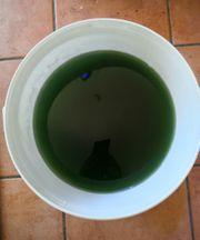 Phytoplankton Synechococcus Cyanobakterien Plankton Meerwasser