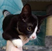 Wunderschöner Baby Kater Kitten Alex
