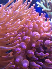 Korallen Anemone Entacmaea quadricolor
