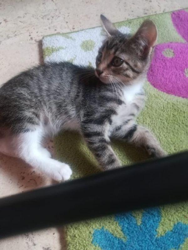 weiblichen Baby Kätzchen zu verkaufen