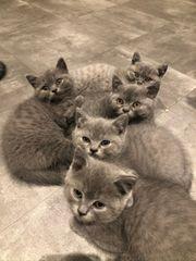 Britisch Kurzhaar Kätzchen zu verkaufen