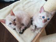 Traumhafte reinrassige Bengal Kitten mit