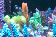 Farbige Meerwasser Korallen Ableger SPS