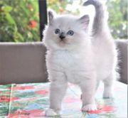 Kleine Unikate aus Ragdoll Katzenrasse