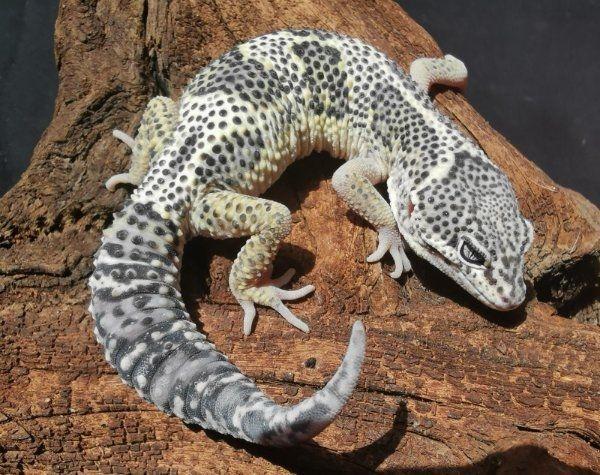 leopardgeckos aus hobbyzucht