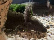 Axolotl vom Züchter