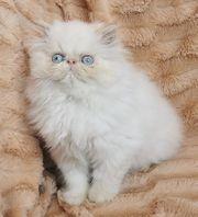 Persisches Kätzchen zur Adoption