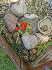 Landschildkröten zu verkaufen Landschildkröten zu