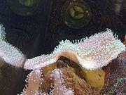 Sarcophyton Fiji - Pilzlederkoralle Grün -