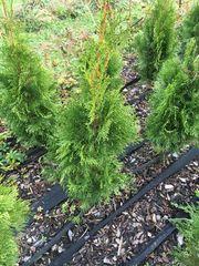 Thuja Smaragd Lebensbaum 30-50 cm