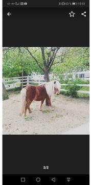 Suche Shetty Pony Shetland