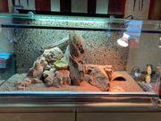 3 Leopardgeckos mit Terrarium inkl