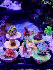 Kleine SPS Korallen Ableger in