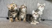 BKH-Bengal-Mix Kitten abgabebereit