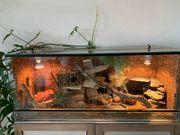 Terrarium mit 3 Leopardgecko -Weibchen