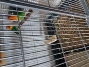 Rosenköpfchen liebesvögel unzertrennliche