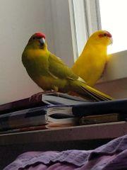 Two male ziegensittich looking for