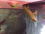 Großer Madagaskar Taggecko lat Phlesuma