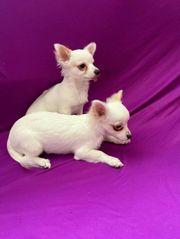Zwei weiße Chihuahua Welpen freuen
