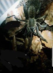 haplopelma minax Thailand black