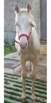 Paint Horse Stutfohlen cremello