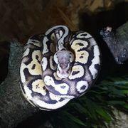 Boa constrictor imperator Python regius