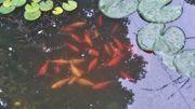 Goldfische mehrfarbig 5-25 cm zu